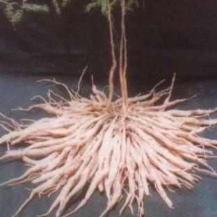 שטאברי / Asparagus Racemosus